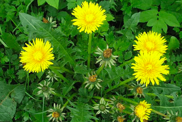 How to Kill Dandelions: Eco-Friendly vs Herbicides